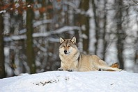 Mackenzie valley wolf, Canadian timber wolf Canis lupus occidentalis in the snow