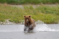 Alaska , Katmai National Park and Preserve , McNeil River Bear Viewing and Wildlife Sanctuary , Grizzly bear  Ursus arctos horribilis  , family : ursi...