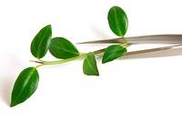 Metal tweezers with sprout