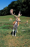 FALLOW DEER dama dama