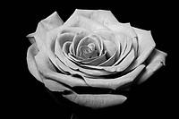 Blacwhite rose flower on black