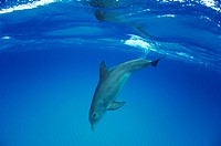 Bottlenose Dolphin, Tursiops truncatus, Atlantic Ocean, Bahamas
