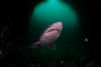 Sandtiger Shark, Carcharias taurus, Aliwal Shoal, South Africa