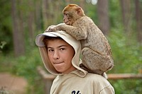 A Barbary Macaque Macaca sylvanus sitting on a boy´s shoulders