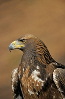 Golden eagle (Aquila chrysaetos) on a lookout, Landskron Castle Eagle Park, Carinthia, Austria, Europe