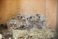 Recently hatched Tawny owls Strix aluco