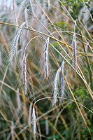 Grass seedheads on curved stems