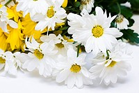 White and yellow chamomiles isolated