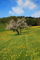 Meadow with blossoming fruit trees, near Heppenheim, Hesse, Germany