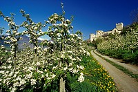 Apple blossom, Castello Coira, Churburg castle in the background, near Sluderno, Val Venosta, Dolomite Alps, South Tyrol, Italy