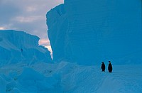 Emperor Penguins, Aptenodytes Forsteri, Icebergs, Antarctica