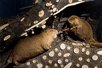 Stuffed beavers in a beavers´ lodge, natural history collections, museum, Ulm, Baden_Wuerttemberg, Germany, Europe
