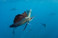 Atlantic Sailfishes, Istiophorus albicans, Islamorada, Florida Keys, Florida, USA