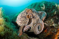 Common Octopus over Reef, Octopus vulgaris, Cap de Creus, Costa Brava, Spain