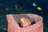 Grouper inside Barrel Sponge, Cephalopholis sp , Xestospongia testudinaria, Amed, Bali, Indonesia