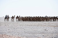 Camel herd, Sudan, Africa