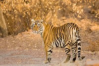 Tiger Panthera Tigris looking back in Ranthambore National Park , Rajasthan , India
