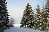 Snowy fir trees pines