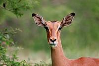 Impala portrait