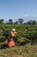 Woman weeding in a coffee plantation (Coffea arabica), Kilimanjaro, Tanzania, East Africa, Africa