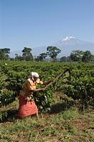 Woman weeding in a coffee plantation (Coffea arabica), Kilimanjaro, Tanzania, East Africa, Africa