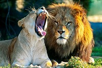 African Lion and Lioness Yawning Zoo Captive.