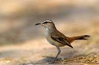 Kalahari scrub-robin Cercotrichas paena, Mabuasehube, Kgalagadi Transfrontier Park, Kalahari desert, Botswana