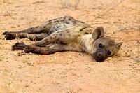 Spotted hyaena Crocuta crocuta, Kgalagadi Transfrontier Park, Kalahari desert, South Africa