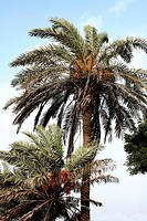 Red and yellow dates palm Botanical name Phoenix Sylvestris Roxb sold on the streets of Bhuj , kutch , Gujarat , India