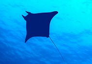 Devil fish, ray (Mobula)