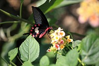 The Lantana flower and Common Rose