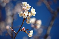 Cherry Blossom Flower Head Branch Close_up
