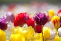 Tulips (Tulipa), Texel, Netherlands, Europe