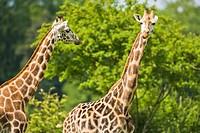 Two Rothschild´s giraffes (Giraffa camelopardalis rothschildi) munching, captive