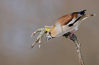 Hawfinch (Coccothraustes coccothraustes), female in breeding plumage, perched on apple tree branch, UNESCO Biosphere Reserve, Swabian Alb, Baden-Wuert...