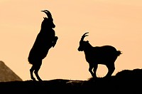 Alpine ibexes (Capra ibex), silhouette, Mondscheinspitze Mountain, Karwendel Mountains, Tyrol, Austria, Europe