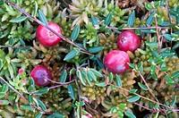 Common Cranberry (Vaccinium oxycoccos), Ibmer Moor, Upper Austria, Austria, Europe