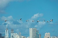 Birds , flamingo flying in blue sky building in background , Bombay Mumbai , Maharashtra , India