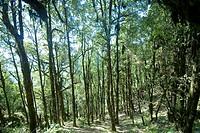 Deep green forest at Surkunda devi hill near Kaddukhal , Uttaranchal , India