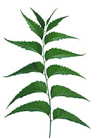 Margosa or neem Azadirachta indica green Leaves on White background