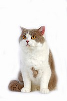 LILAC AND WHITE BRITISH SHORTHAIR CAT, ADULT MALE AGAINST WHITE BACKGROUND