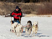 Man, musher running, driving a dog sled, team of sled dogs, two white leaders, lead dogs, Alaskan Huskies, frozen Takhini River, Yukon Territory, Cana...