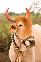 Bull with string of little bells in Salunkwadi , Ambajogai , Maharashtra , India