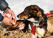 4 time Yukon Quest and Iditarod champion Lance Mackey massaging ointment on foot of sled dog, Alaskan Husky in Pelly Crossing checkpoint, Yukon Quest ...