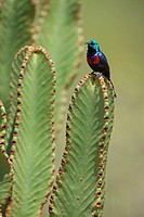 male Red-chested Sunbird, Cinnyris erythrocercus, male sitting on euphorbie, Uganda