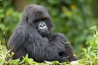Mountain Gorilla, Gorilla beringei beringei, female sitting in vegetation, Volcanoes National Park, Rwanda