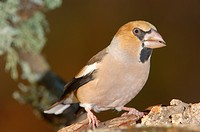 Hawfinch (Coccothraustes coccothraustes), Andujar, Jaen province, Andalusia, Spain, Europe
