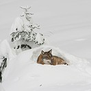 Wolf Canis lupus in the snow