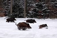 Wild Boars Sus scrofa fleeing into the woods in winter through the snow