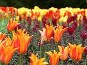 Ballerina Lily Tulips